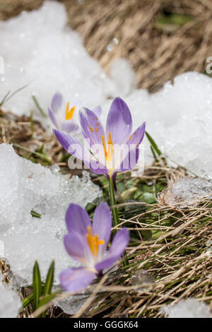 botany, crocus in the snow in the Knuttental, Rein in Taufers, Reintal, South Tyrol, Italy, Additional-Rights-Clearance - Stock Photo