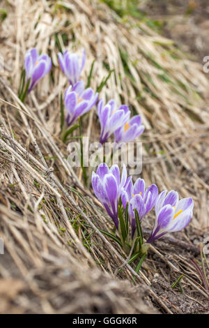botany, lilac crocus in the Knuttental, Rein in Taufers, Reintal, South Tyrol, Italy, Additional-Rights-Clearance - Stock Photo