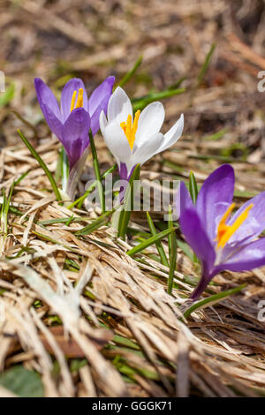 botany, lilac and whiteness crocus in the Knuttental, Rein in Taufers, Reintal, South Tyrol, Italy, Additional-Rights - Stock Photo