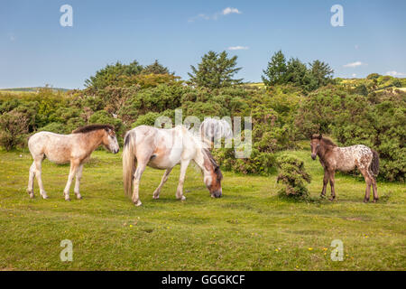 zoology, mammal (mammalia), savage Bodmin fen pony at St. Neot, Cornwall, Additional-Rights-Clearance-Info-Not-Available - Stock Photo