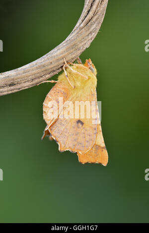 Canary-shouldered Thorn - Ennomos alniaria - 70.234 (1913) - Stock Photo