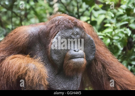 Male Orangutan, Indonesia. Native to Indonesia and Malaysia, orangutans are currently found in only the rainforests - Stock Photo