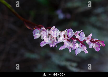 lat. Orchis patens ssp. caraniensis, orchid flower, Tamadaba pine forest, canarian pine trees, mountains, Natural - Stock Photo