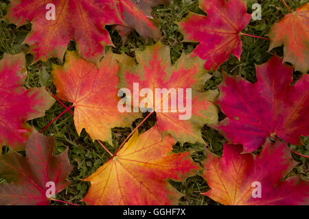 Autumn Leaves, Colorful leaves, Norway maple, Buntes Herbstlaub des Spitz-Ahorn (Acer platanoides) - Stock Photo