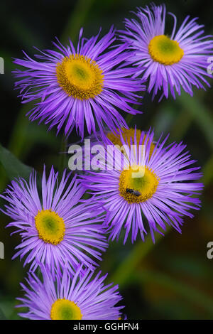 Blue Aspen Fleabane / Feinstrahl, Berufskraut (Erigeron speciosus) erigeron cultorum, cultivars, blue flower, - Stock Photo