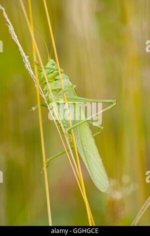 Great Green Bush-Cricket (Tettigonia viridissima) - Stock Photo