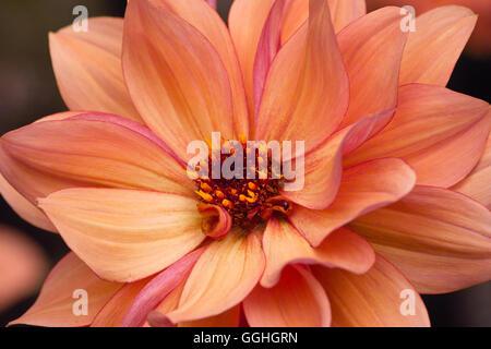 Peony flowering Dahlia / Peonienbluetige Dahlie 'Classic Poème' (Dahlia Hybrid), apricot, pink-rosa, - Stock Photo