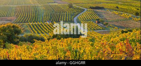 Autumn vines, Vineyards, Baden near Vienna, Lower Austria, Austria - Stock Photo