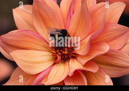 Peony flowering Dahlia / Peonienbluetige Dahlie 'Classic Poème' (Dahlia Hybrid), apricot, bumblebee, Hummel, pink - Stock Photo