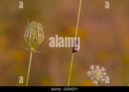 Wild Carrott / Wilde Möhre, (Daucus carota) with Italian Striped-Bug, Minstrel Bug / Streifenwanze (Graphosoma lineatum) - Stock Photo