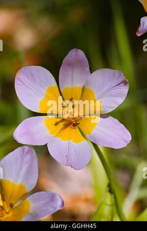 Pink Tulip 'Lilac Wonder' with yellow centre, pink tulip, yellow centre, tulipa, tulip, wild, flower, bulbs, pink, - Stock Photo