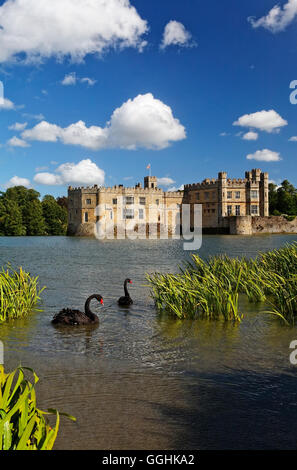 Black swans on a lake, Leeds Castle, Maidstone, Kent, England, Great Britain - Stock Photo