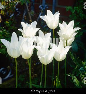 Tulipa - `White Triumphator' AGM (Lily-flowered)   BUL060194 - Stock Photo