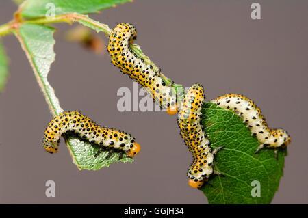 Sawfly - Banded Rose Sawfly Larvae- - (Allantus cinctus)   MIW252874  /Photos - Stock Photo
