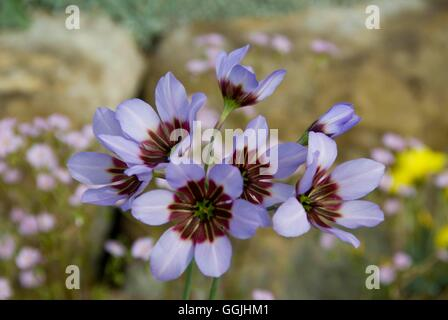 Leucocoryne purpurea   MIW253268 - Stock Photo
