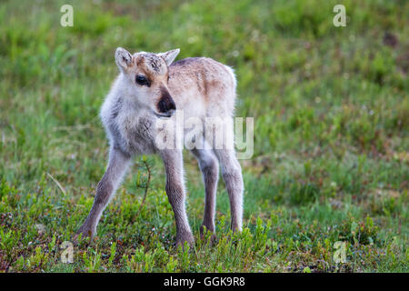 Young reindeer, Oulanka National Park, Northern Ostrobothnia, Finland - Stock Photo