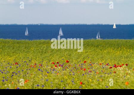 View towards sailing boats over a field of flowers, Schwedeneck, Baltic sea, Daenischer Wohld, Rendsburg-Eckernfoerde, - Stock Photo