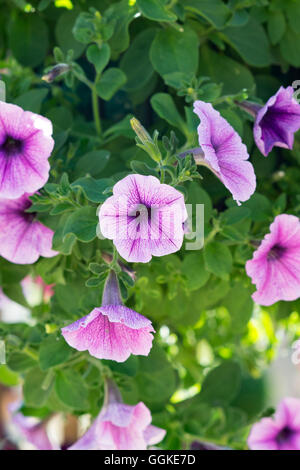 Petunia f1 easy wave 'plum vein' flowers in a hanging basket - Stock Photo