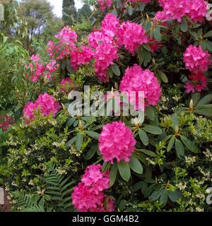 Rhododendron - 'Cynthia' AGM   RHO089075 - Stock Photo