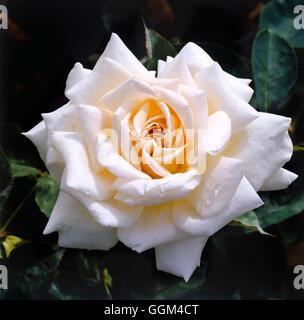 Rosa - `Jardins de Bagatelle' (Hybrid Tea)   RHT063435 - Stock Photo