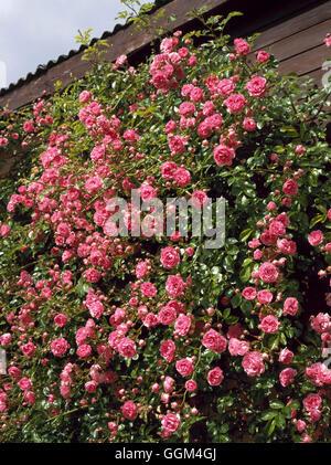 Rosa - `Dorothy Perkins' (Rambler)   RRB105155 - Stock Photo