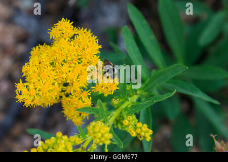 A close-up of Western Goldenrod blooms on Colorado's Mt. Herman - Stock Photo