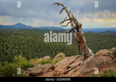 An old dead tree on top of a Grouse Mountain in Colorado's Mueller State Park. - Stock Photo