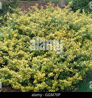 Ilex crenata Golden Gem Stock Photo, Royalty Free Image: 10550188 ...