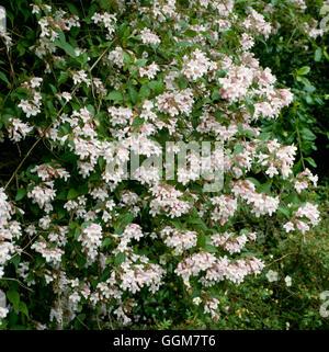 Kolkwitzia amabilis - Beauty Bush   TRS056534 - Stock Photo