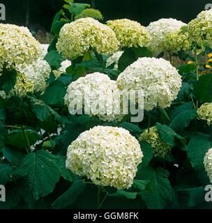 Hydrangea arborescens - `Annabelle' AGM   TRS103271 - Stock Photo