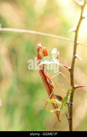 Brown adult male Mantis religiosa on a branch - Stock Photo