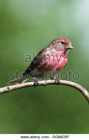 A male Redpoll perched on a twig in a meadow. - Stock Photo
