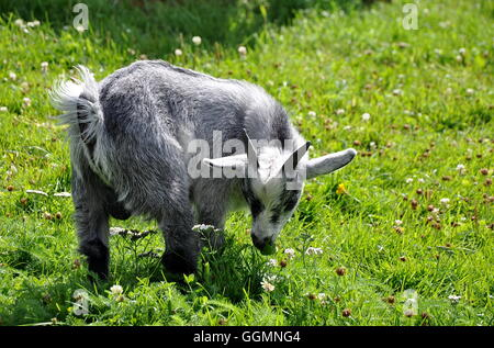 Young goat in green meadow eating grass - Stock Photo