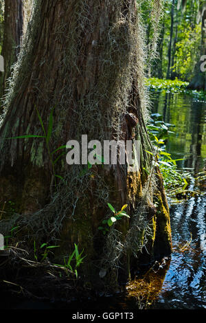BALD CYPRESS trees in the OKEFENOKEE SWAMP National Wildlife Refuge along the SUWANNEE RIVER - FLORIDA - Stock Photo
