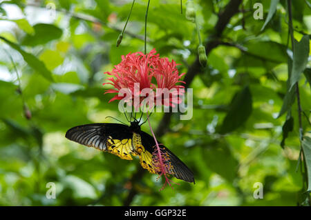 Common birdwing butterfly feeding on red flower - Stock Photo