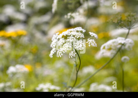 Ammi majus flowers, - Stock Photo