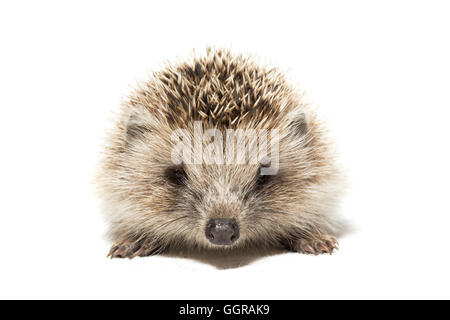 the photograph depicted a hedgehog on a white background - Stock Photo