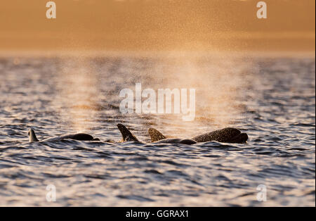 Trio of Bottlenose Dolphins (Tursiops truncatus) exhaling at sunrise at Chanonry Point, Moray Firth, Scotland - Stock Photo