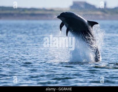 Bottlenose Dolphin (Tursiops truncatus) in full breach at Chanonry Point, Moray Firth, Scotland - Stock Photo