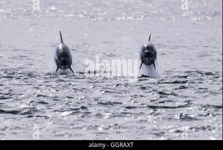Two Bottlenose Dolphins (Tursiops truncatus) socializing at Chanonry Point, Moray Firth, Scotland - Stock Photo