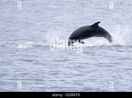 Bottlenose Dolphin (Tursiops truncatus) breaching with fish at Chanonry Point, Moray Firth, Scotland - Stock Photo