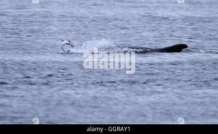 Bottlenose Dolphin (Tursiops truncatus) chasing salmon at Chanonry Point, Moray Firth, Scotland - Stock Photo