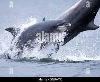Two Bottlenose Dolphins (Tursiops truncatus) breaching at Chanonry Point, Moray Firth, Scotland - Stock Photo