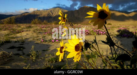 Closeup of spring sunflowers in front of pink flower fields with Anza-Borrego Desert State Park mountains in the - Stock Photo