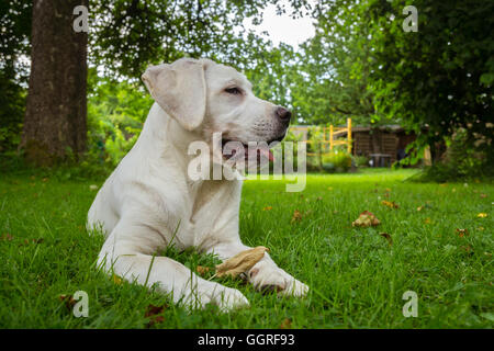 Sweet cute labrador dog puppy lying on a green meadow and looking beautiful - Stock Photo