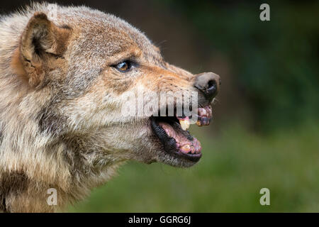 Snarling Grey wolf - Stock Photo