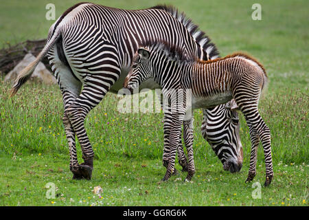 Grévy's zebra with her three-week-old foal - Stock Photo