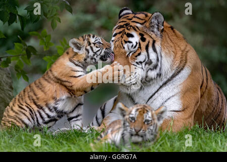 Amur Tiger cubs, 11 weeks old - Stock Photo