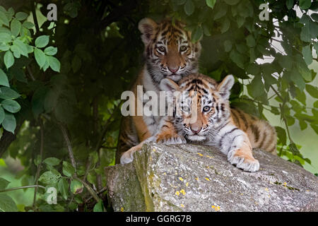 Amur tiger cubs, 11 weeks old. - Stock Photo