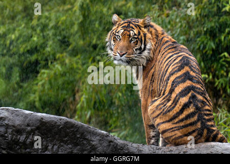 Sumatran tiger in the rain Stock Photo